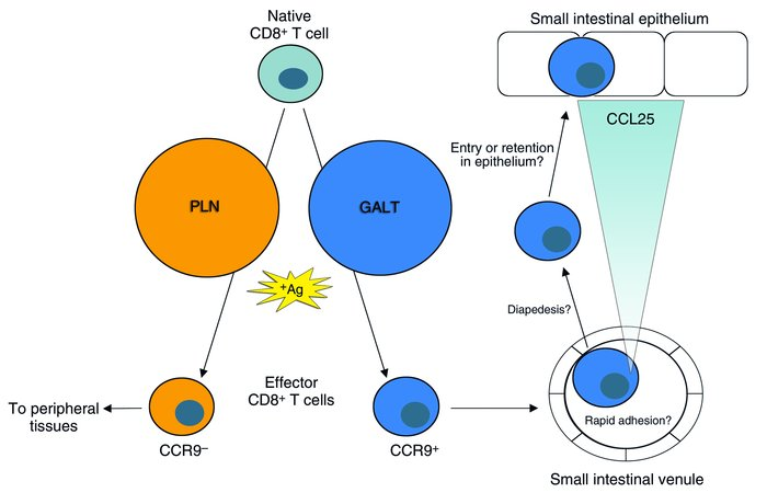 A subset of naive CD8+ T cells recognizing antigen (Ag) in GALT, but not...