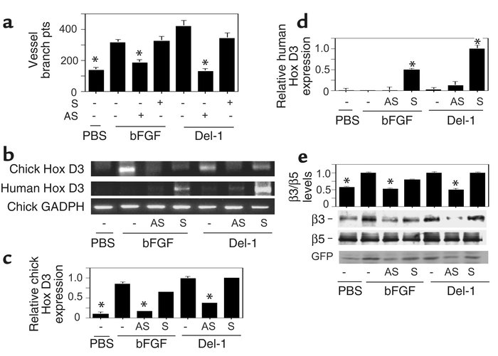 Hox D3 is required for Del-1–induced angiogenesis. (a) CAMs of 10-day-ol...