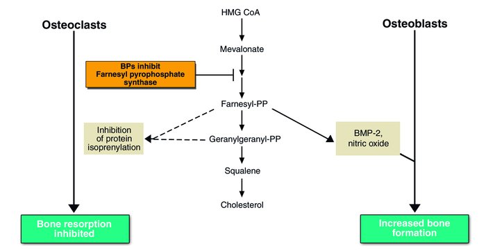 Proposed mechanism of bisphosphonate (BP) action. BPs inhibit a key step...