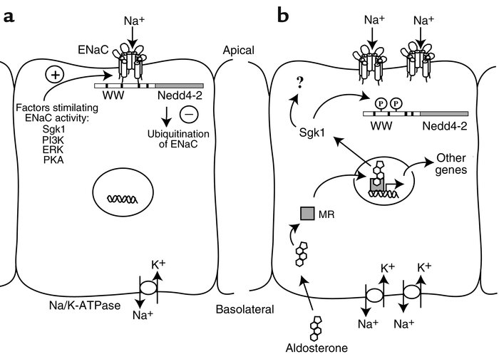 Mechanism of ENaC expression in an aldosterone-sensitive epithelial cell...
