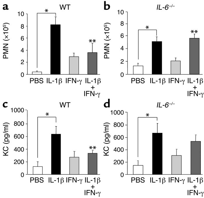 Regulation of PMN clearance by IFN-γ is dependent on IL-6 activity. Wild...