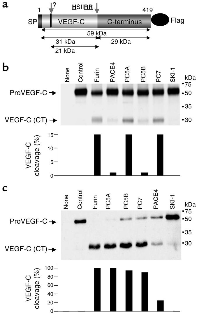 Processing of proVEGF-C by furin, PC5, and PC7. (a) Schematic representa...
