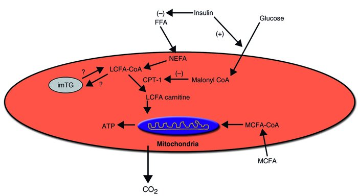 The major sites of regulation of fatty acid entry into myocellular mitoc...