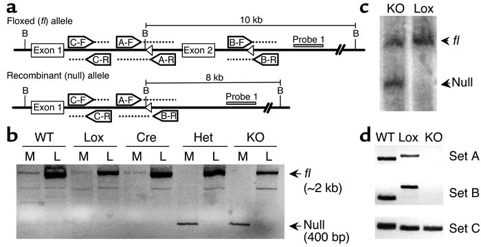 Recombination of PPARγ-loxP allele in the muscle of MuPPARγKO mice. (a) ...