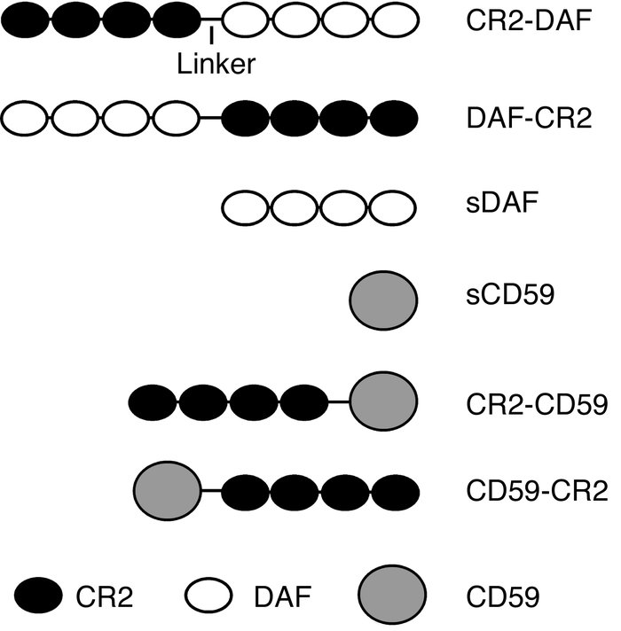Diagram of the various CR2 complement-inhibitor fusion proteins.