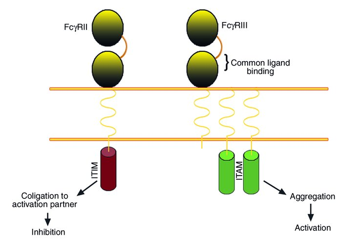 IgG Fc receptors are expressed as activation/inhibitory pairs. A schemat...