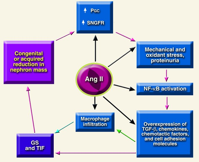 Final common pathway for progression of chronic renal disease. Angiotens...