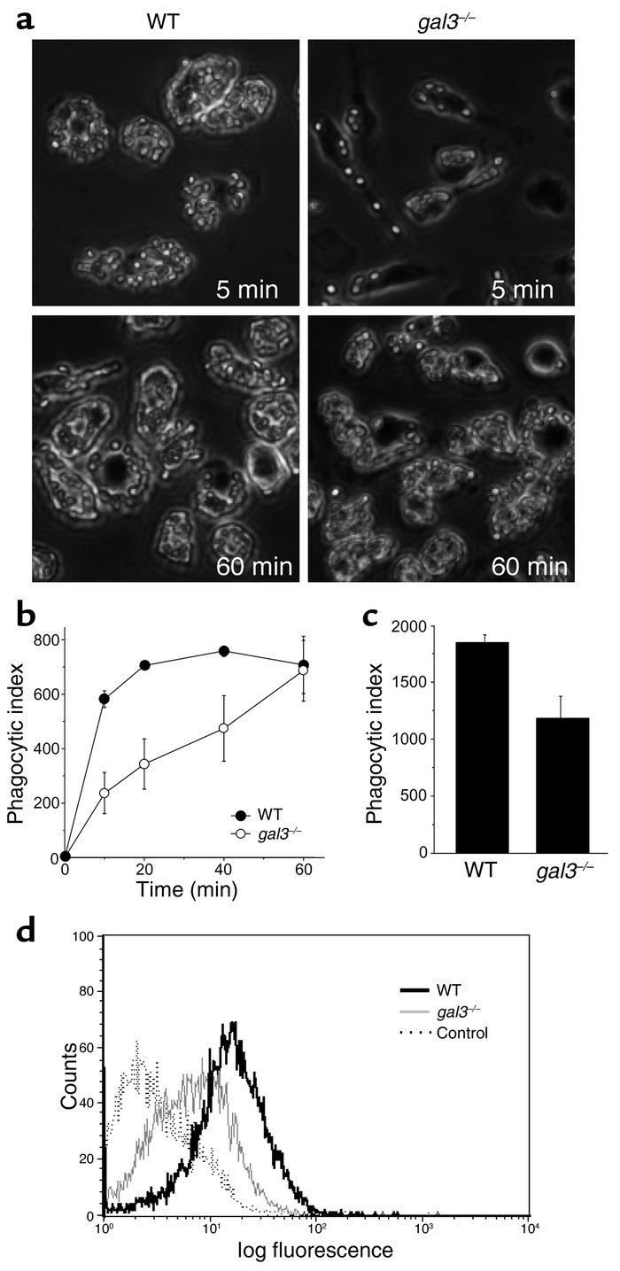 Delayed phagocytosis of IgG-opsonized erythrocytes by gal3–/– macrophage...