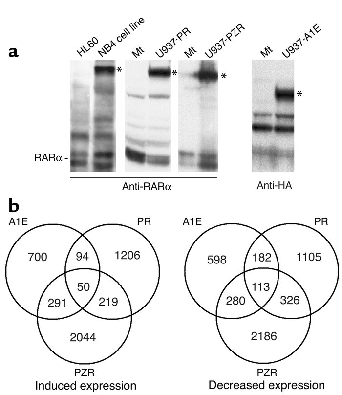 (a) Western blot analysis of fusion-protein expression in the U937 clone...