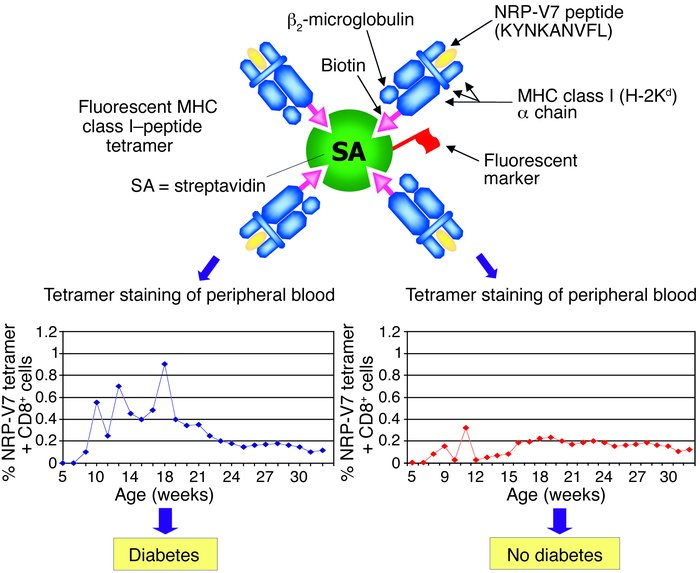 Schematic of fluorescent MHC class I–peptide tetramer used in the study ...
