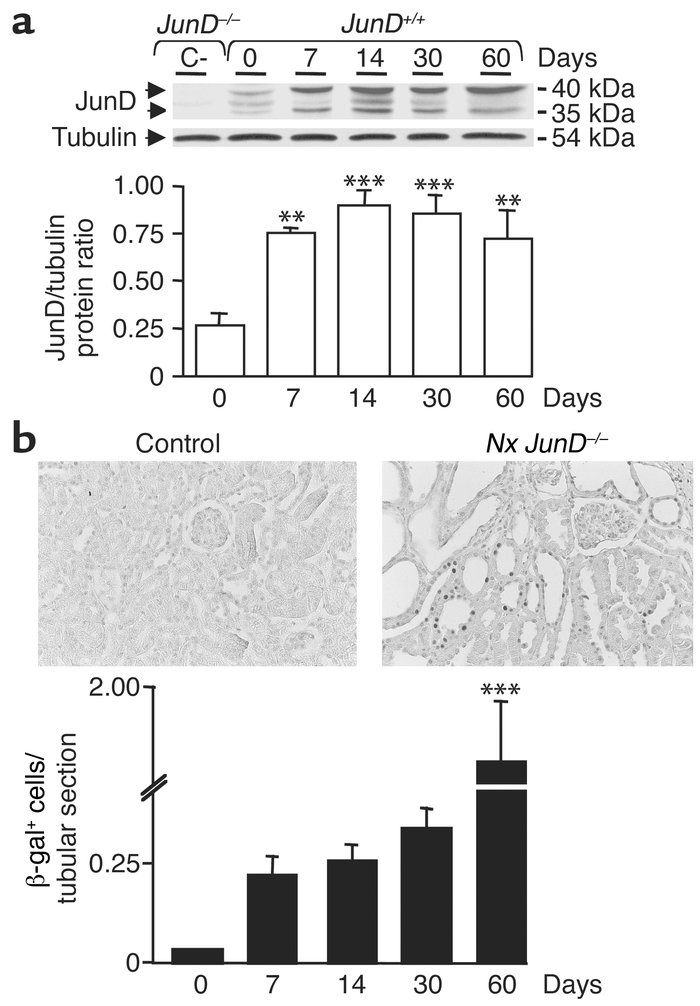 JunD expression increases after nephron reduction. (a) Immunoblot analys...