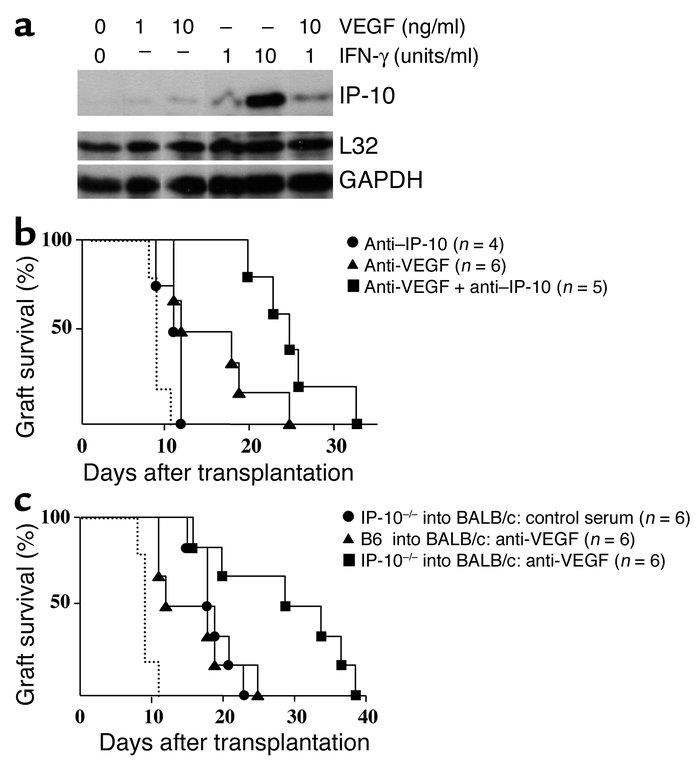 Function of VEGF-dependent regulation of IP-10 in allograft rejection. (...