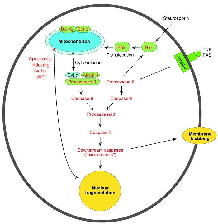 A schematic view of the main pathways of apoptosis: mitochondrion-mediat...
