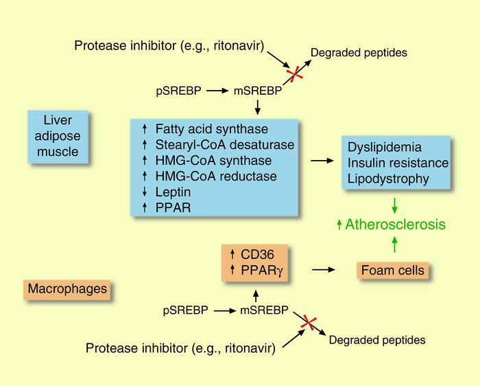 Schematic diagram depicting mechanisms by which HIV protease inhibitors ...