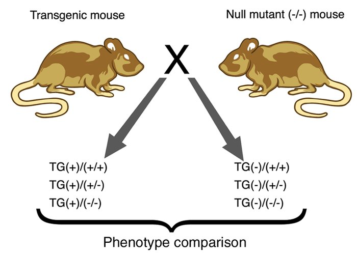 Use of null mutant (knockout) mice to define the pathways that transgene...