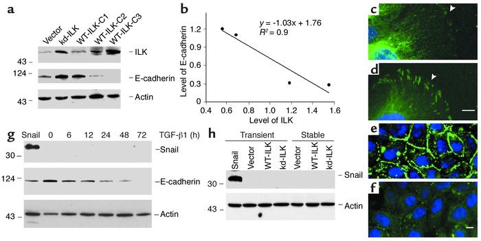 Forced expression of ILK suppresses E-cadherin expression in tubular epi...