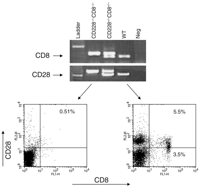 Screening of CD28–/–CD8–/– mice by flow cytometry and PCR. A representat...
