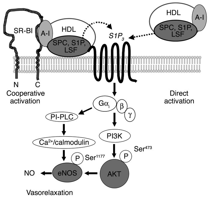 Model of HDL-induced eNOS activation and vasodilation by the lysophospho...