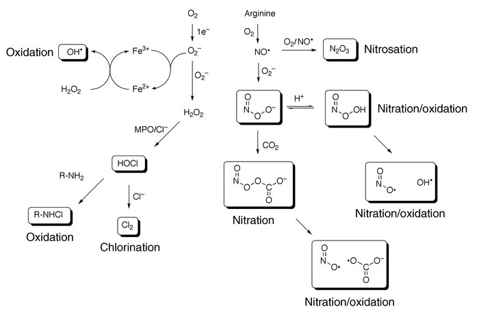 Reactive intermediates generated from superoxide and nitric oxide. MPO, ...