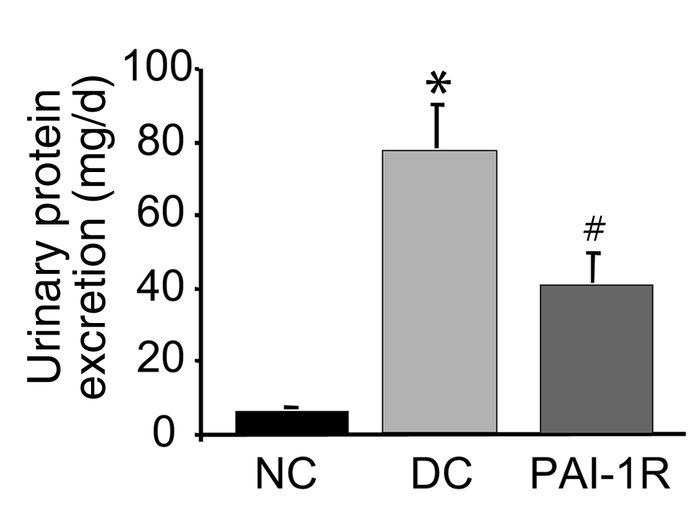 Effects of PAI-1R on 24-hour urinary protein excretion from d5 to d6. Ur...