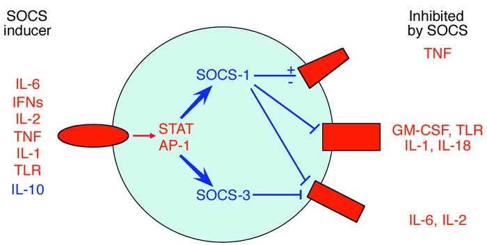 Modulation of cytokine signaling by SOCS proteins during inflammatory ar...