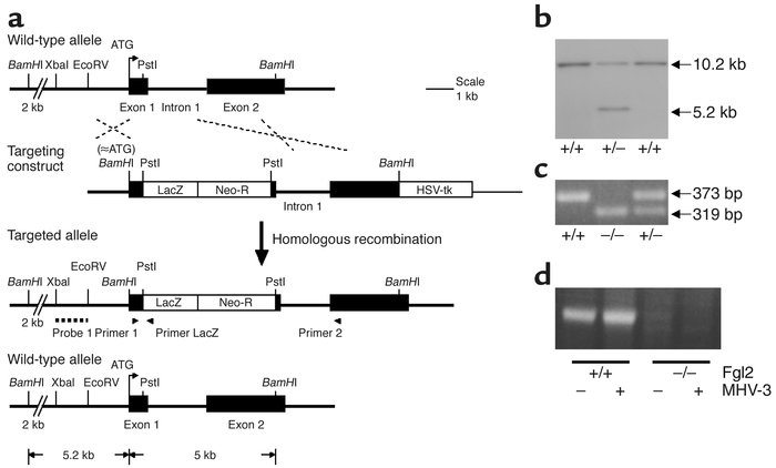 Generation of Fgl2/fibroleukin-deficient mice. (a) Targeting strategy fo...