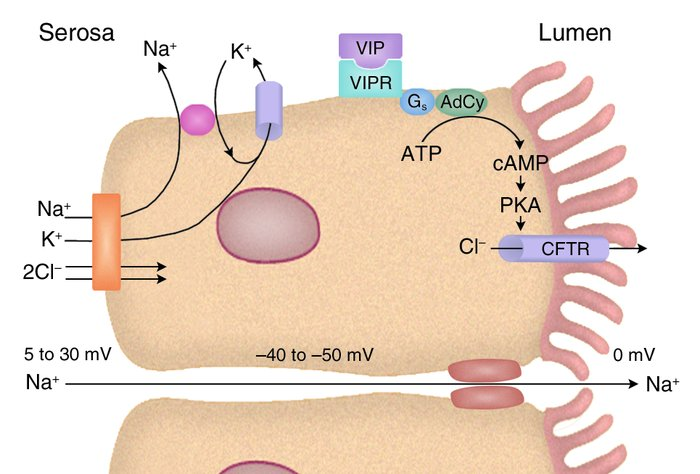 Intestinal Cl– secretion. CFTR, the apical anion channel, mutations in w...