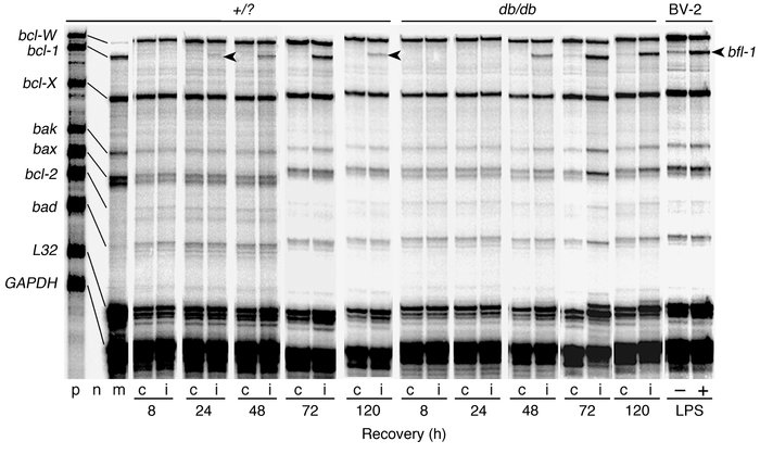 RPA for bcl-2 gene family following H/I: cortex. Total RNA was isolated ...