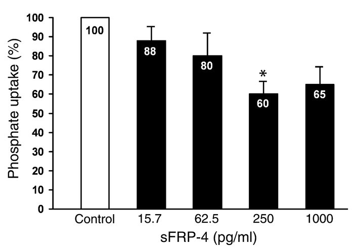 Effect of sFRP-4 on sodium-dependent phosphate uptake in OK cells mainta...