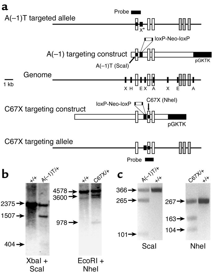 Targeted mutagenesis of the mouse Avp gene. (a) Targeting strategy. Spec...