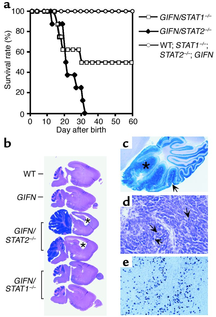 GIFN mice lacking STAT2 die prematurely with medulloblastoma. (a) Surviv...