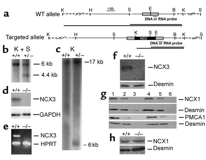 Targeted disruption of the Ncx3 gene. (a) Structure of the WT and the ta...