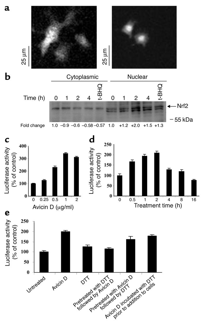 Nuclear localization of Nrf2 and activation of ARE-mediated gene express...