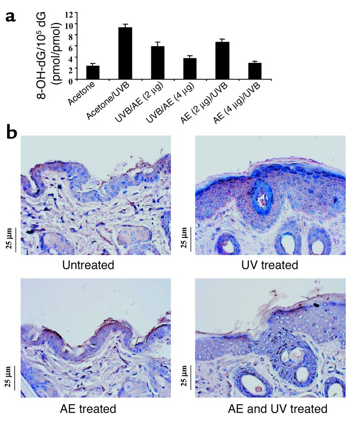 (a) Effect of AE on 8-OH-dG formation. Skin sections from mice treated w...