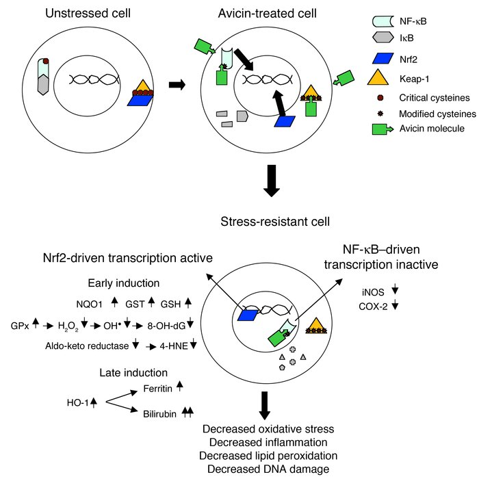 A proposed model of avicin-induced enhancement of the innate stress resp...