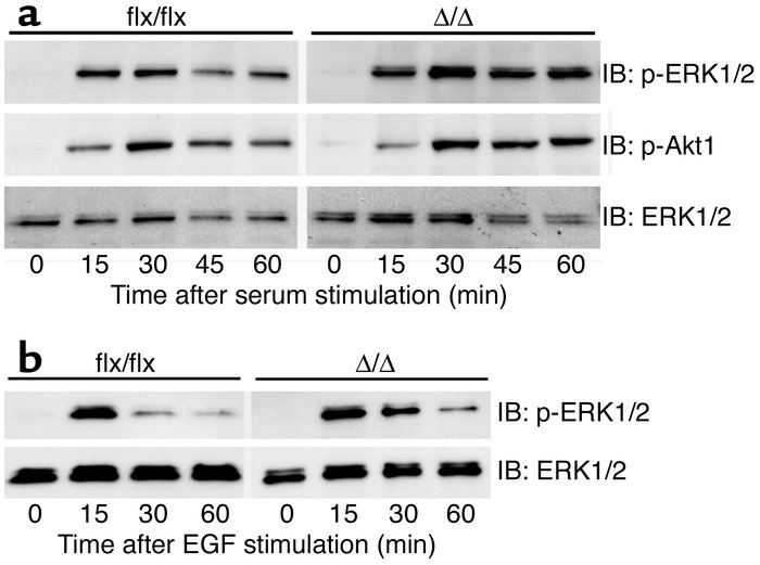 Growth factor-stimulated Erk1/2 and Akt1 phosphorylation in Icmt-deficie...