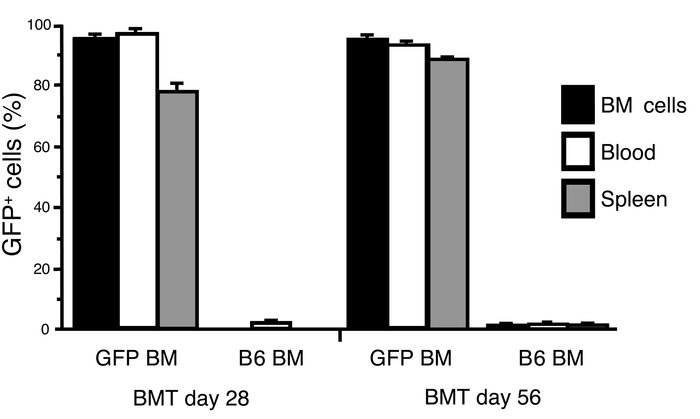 Kinetics of engraftment of GFP+ BM cells. BM, peripheral blood, and sple...