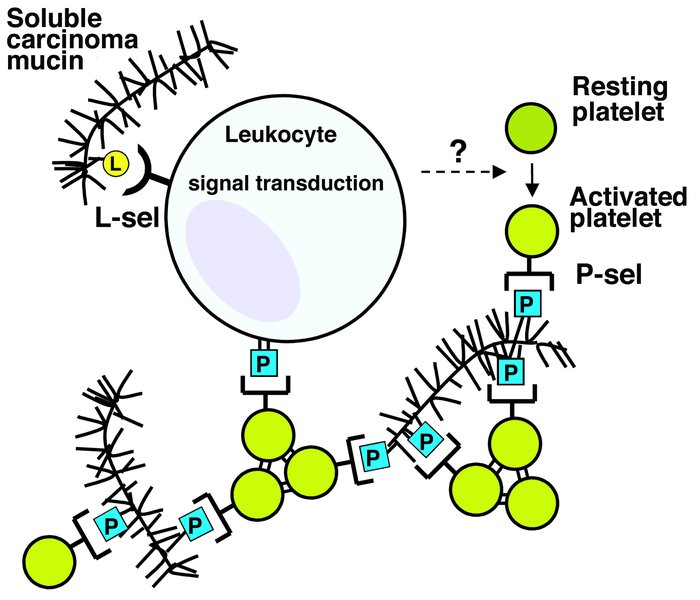 Proposed model for L- and P-selectin–mediated mucin-induced activation a...