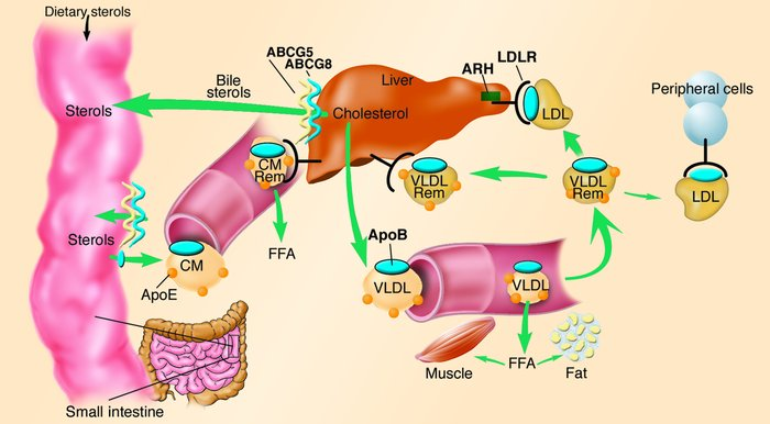 Overview of LDL metabolism in humans. Dietary cholesterol and triglyceri...