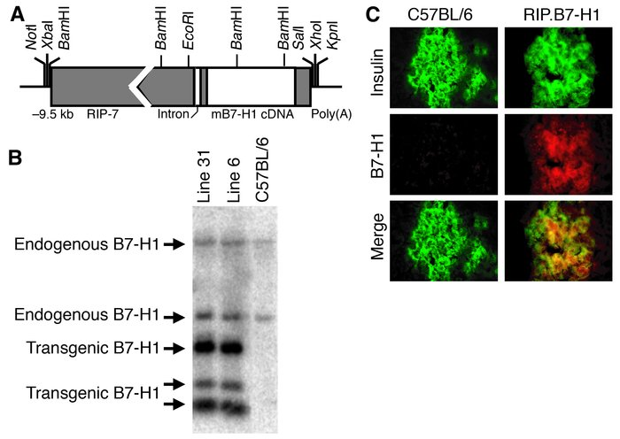 Generation of RIP.B7-H1 transgenic mice. (A) A schematic of the RIP–muri...