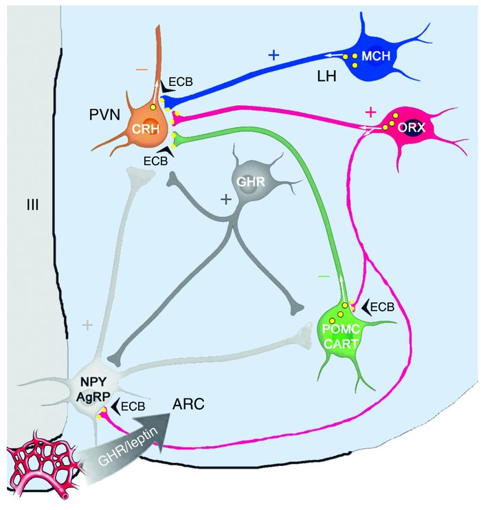 Schematic illustration showing the relationship between hypothalamic pep...