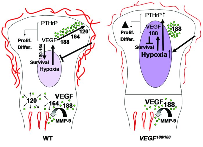 Proposed model of VEGF action in cartilage. VEGF is produced at high lev...