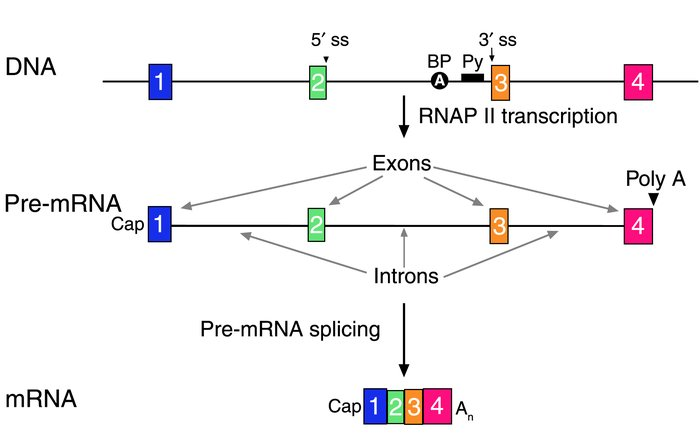 The structure of human genes and primary transcripts. A schematic of a g...