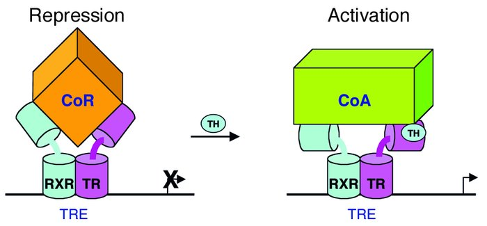 Paradigm for positive regulation of gene expression by TH. TH binding to...