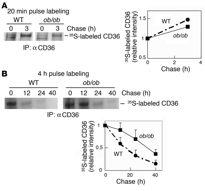 CD36 protein turnover is decreased in ob/ob macrophages. Pooled WT or ob...