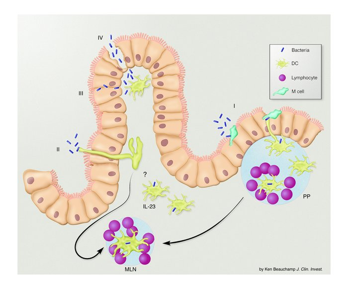How do intestinal DCs sense the bacterial flora? Current theories of how...