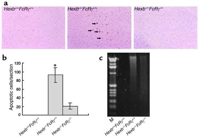 Reduction of apoptosis in the brain of Hexb–/–FcRγ–/– mice. (a) At 14 we...