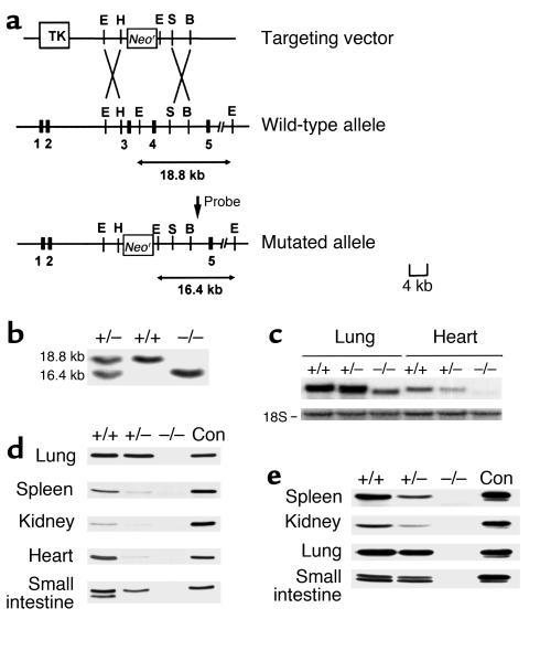 Generation of annexin II–null mice. (a) Genomic organization of the wild...