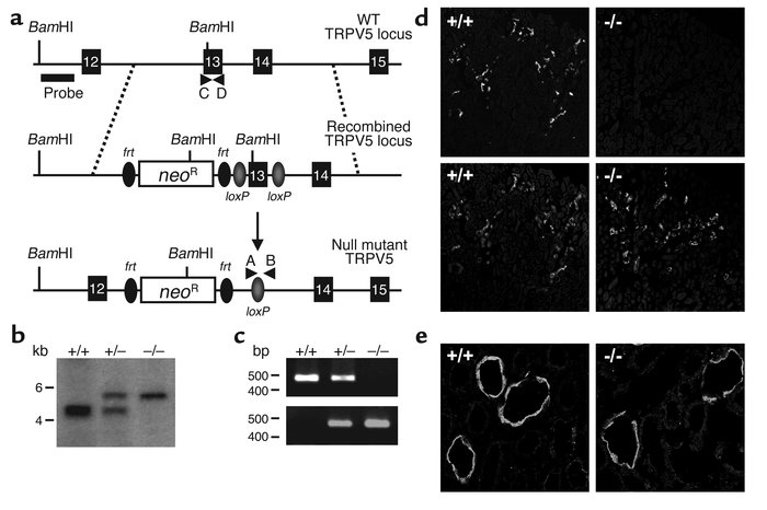 Creation of null mutant mice for the TRPV5 gene locus. (a) Targeted inac...