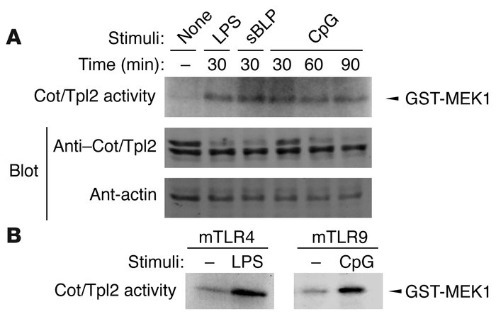 Cot/Tpl2 activation by TLR ligands. (A) RAW 264.7 cells were stimulated ...
